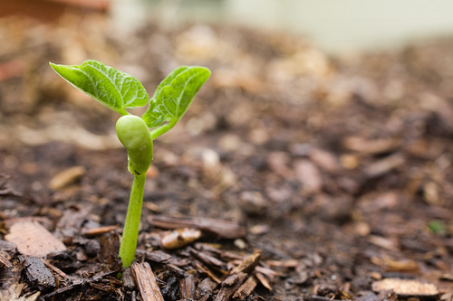 bush-bean-seedling.jpg